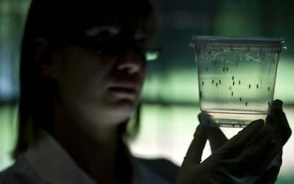 Zika, sviluppato un nuovo vaccino efficace su scimmie e topi