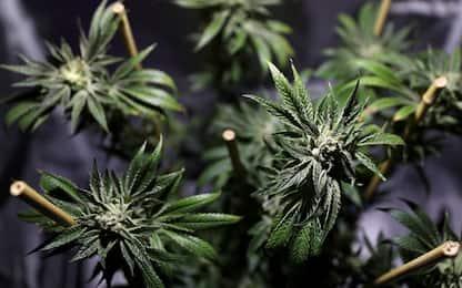 Acilia, scoperta serra artigianale di marijuana in casa: un arresto
