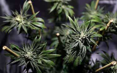 marijuana_getty