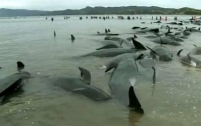 Nuova Zelanda, 300 balene morte sulla spiaggia di Farewell Spit
