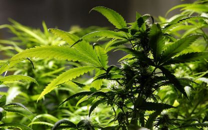 Serra di marijuana in salotto, fermati due spacciatori nel Torinese