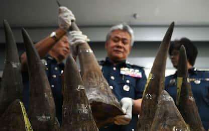 Malesia, sequestro di corni di rinoceronte da 3,1 milioni di dollari