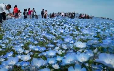 Getty_Images_Nemophila_fioritura_Giappone_3