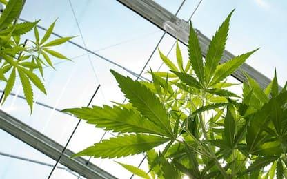 Gela, scoperta piantagione di marijuana in serre per le zucchine