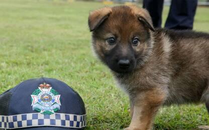 """""""Date un nome ai cuccioli"""", così la  polizia su Facebook in Australia"""