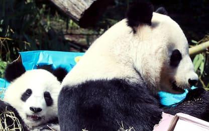 Vienna, il primo anno dei panda gemelli