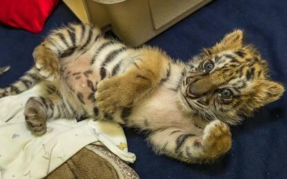 Cucciolo di tigre salvato dal contrabbando diventa star su Instagram