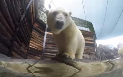 Il cucciolo di orso polare si diverte con i tuffi. Video