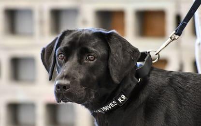 """La Cia """"licenzia"""" la cagnolina Lulu: non voleva più annusare esplosivi"""
