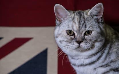 I gatti del Supreme Cat Show. FOTO