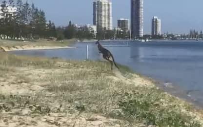 Australia, un canguro si fa una nuotata nel mare del Queensland. VIDEO