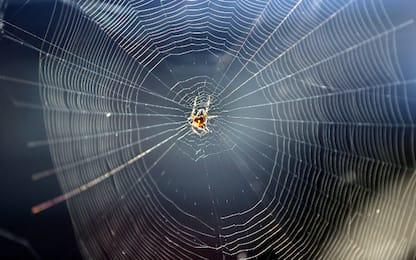 Scoperta una specie di ragni che allatta i propri piccoli