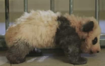 Il primo panda francese muove i suoi primi passi. VIDEO