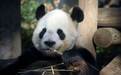 cucciolo di panda