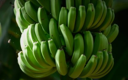 Banana a rischio estinzione, un fungo minaccia le piantagioni