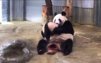 Tokyo, il cucciolo di panda gigante gioca con la mamma. VIDEO