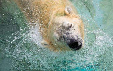 4_Orso_polare_GettyImages-898635050