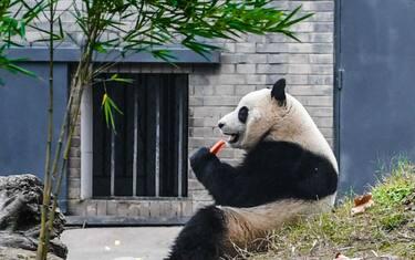 LaPresse_panda_gigante_4