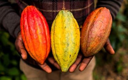 Cioccolato a rischio, ricercatori al lavoro per proteggere il cacao