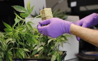L'amministrazione Trump contro la legalizzazione della marijuana