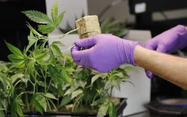 marijuana-ansa