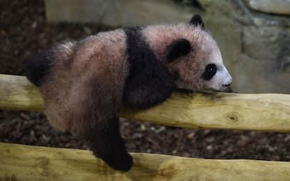 Prima uscita per il cucciolo di panda