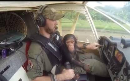 Scimpanzè salvato si diverte su aereo che lo riporta in libertà. VIDEO