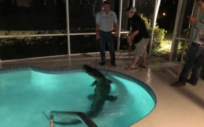 Usa, alligatore nuota nella piscina di una casa in Florida
