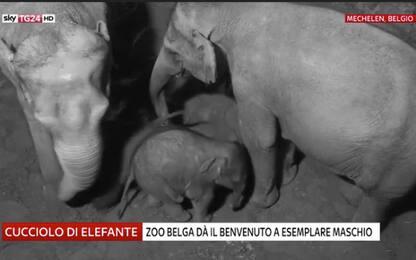 Belgio, lo zoo di Mechelen dà il benvenuto al baby elefante. VIDEO