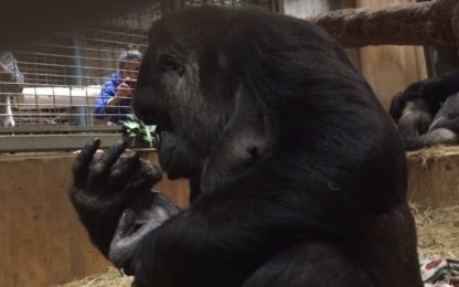 Usa, la nascita del baby gorilla Moke a Washington. VIDEO