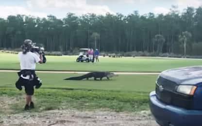 Florida, alligatore a spasso su un campo da golf. VIDEO