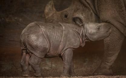 Inghilterra, i primi passi del baby rinoceronte. VIDEO