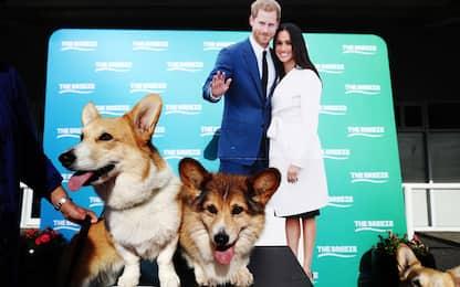 Nuova Zelanda, gara dei cani Corgi. FOTO