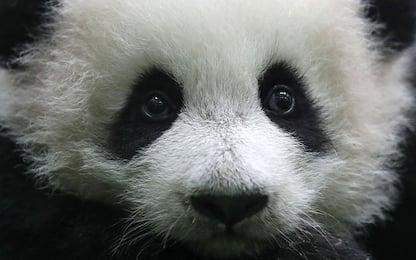 Malesia, il debutto del baby-panda. FOTO