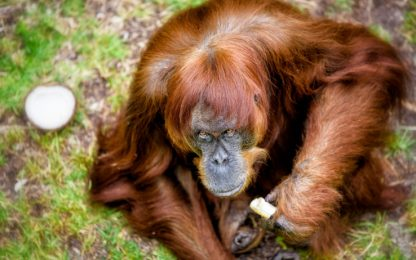 Morta Puan, orango più anziano del mondo
