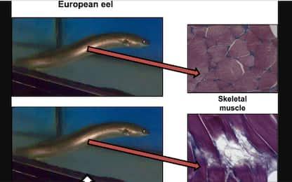 Troppa cocaina nei fiumi, anguilla europea a rischio