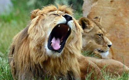 Sudafrica, bracconieri uccisi da un branco di leoni