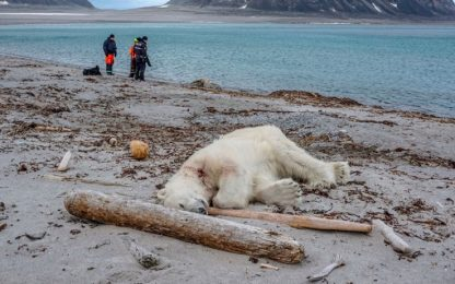 Orso polare ucciso alle Svalbard dopo attacco alla scorta dei turisti