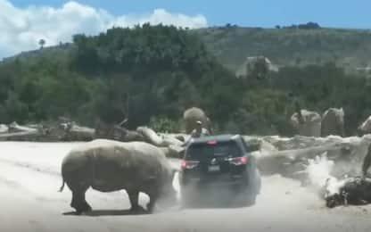 Rinoceronte si scaglia contro un'auto e prova a ribaltarla. VIDEO