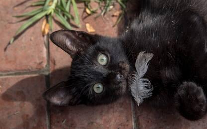 """L'Australia vuol sterminare 2 milioni gatti: """"Minacciano altre specie"""""""