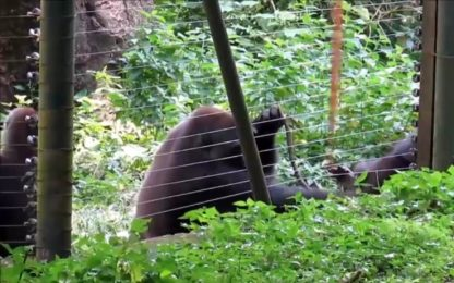 L'astuzia del gorilla: col bastone prende cibo fuori da gabbia. VIDEO