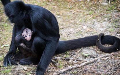 Cina, scimmie con Dna modificato: più intelligenti con geni umani