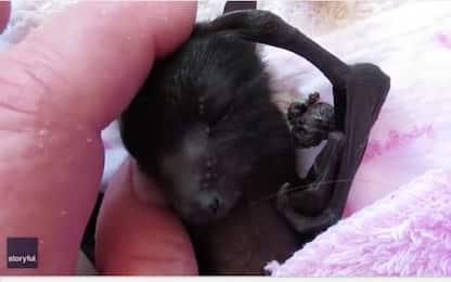 In salvo pipistrello neonato trovato su albero nel Queensland. VIDEO