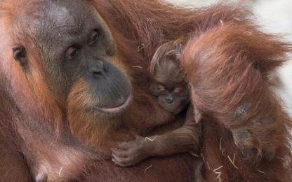 Zoo di Francoforte, nato un orangotango