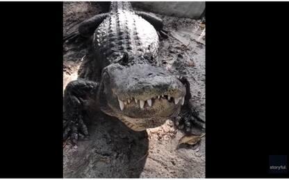 Florida, il verso dell'alligatore fa tremare ma in realtà è felice
