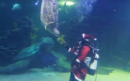 Sydney, Babbo Natale è nell'acquario e gioca con le tartarughe. VIDEO