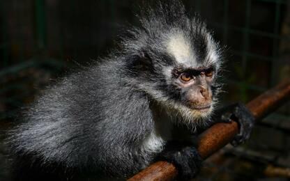 Vietnam, 6 uomini mangiano scimmia rara in diretta Facebook: arrestati