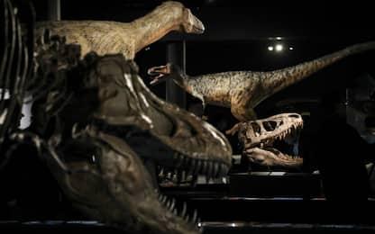 I velociraptor non cacciavano in branco: la scoperta dei paleontologi