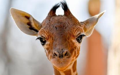 Ungheria, allo zoo di Debrecen è nata una baby giraffa. FOTO