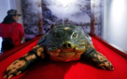 Vietnam, in mostra tartaruga sacra gigante imbalsamata